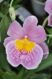 pink cambria orchid Free Photo